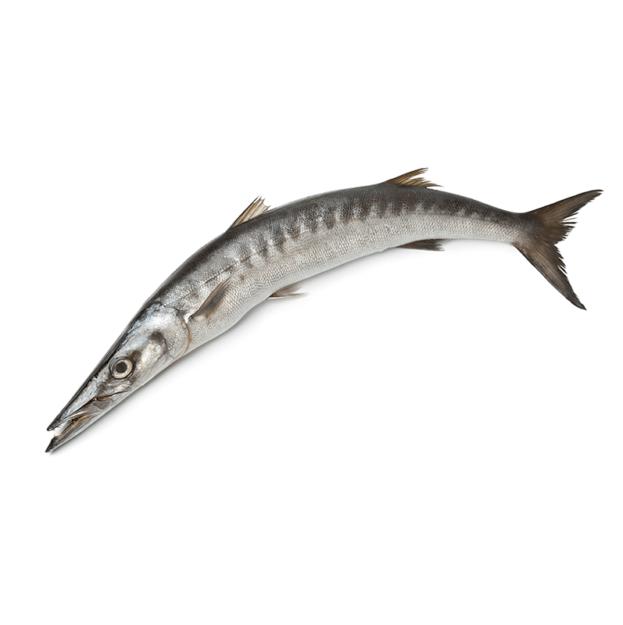 FROZEN BARACUDA FISH 3